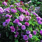 Kew Gardens - Rose Garden © RBG Kew