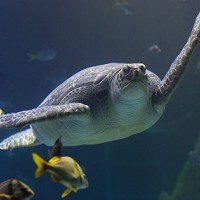 Giant sea turtle Ernie is slimming down for summer at SEA LIFE Manchester