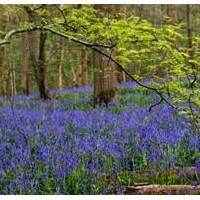 Bluebell Heaven at Hole Park Gardens in Kent