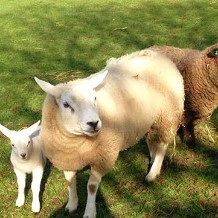 Almond Valley Heritage Centre - Sheep and Lamb by AlmondValley
