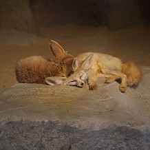 Colchester Zoo - I forget their names but they are some sort of fox by Stuart