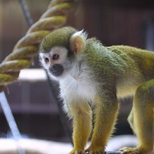 Colchester Zoo - A very cute Spider Monkey at Colchester Zoo by Stuart