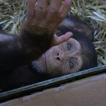Colchester Zoo - Baby Chimp by Stuart