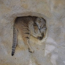 Colchester Zoo - A little wild cat at Colchester Zoo by Stuart